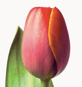 live-tulip.jpg